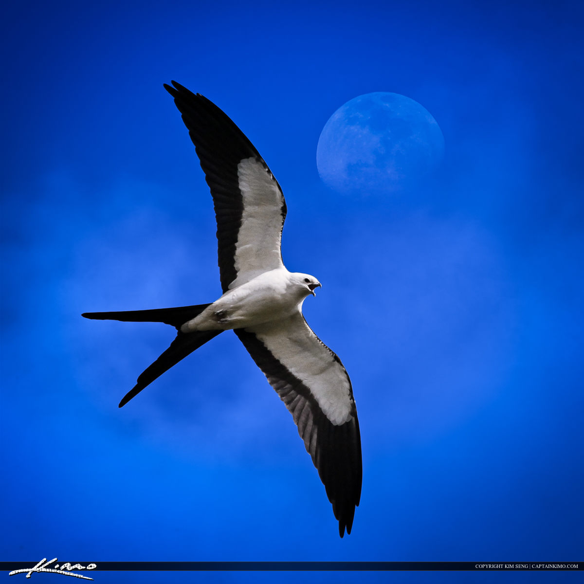 Swallow-tailed Kite Bird Flying in Sky
