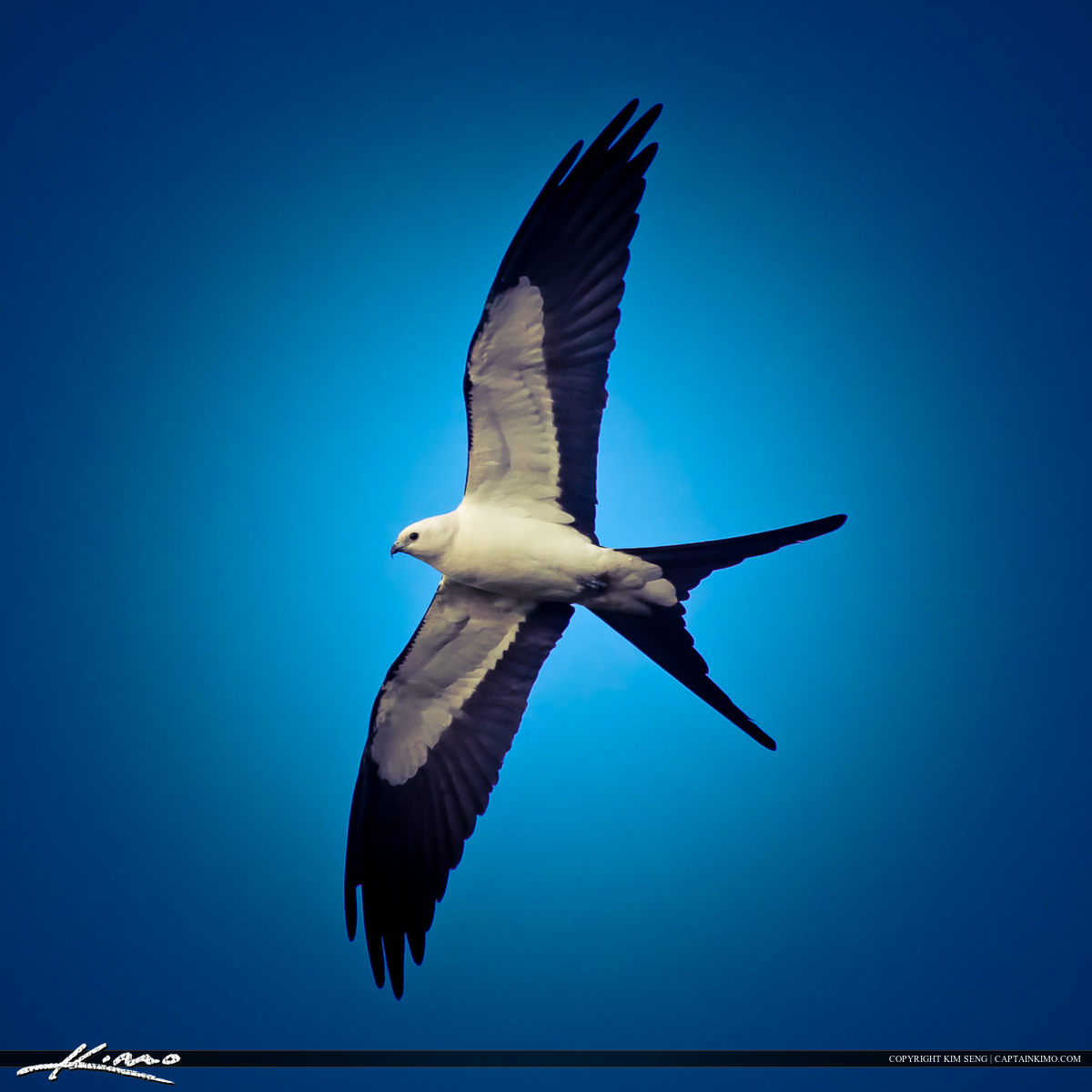 Swallow-tailed Kite Wing Spread Gliding High in Sky