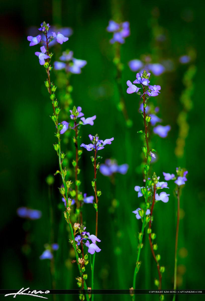 Small Purple Flower from Lake Istokpoga