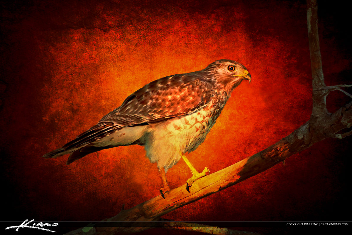 Red-shouldered Hawk Perched on Branched Textured Photomontage