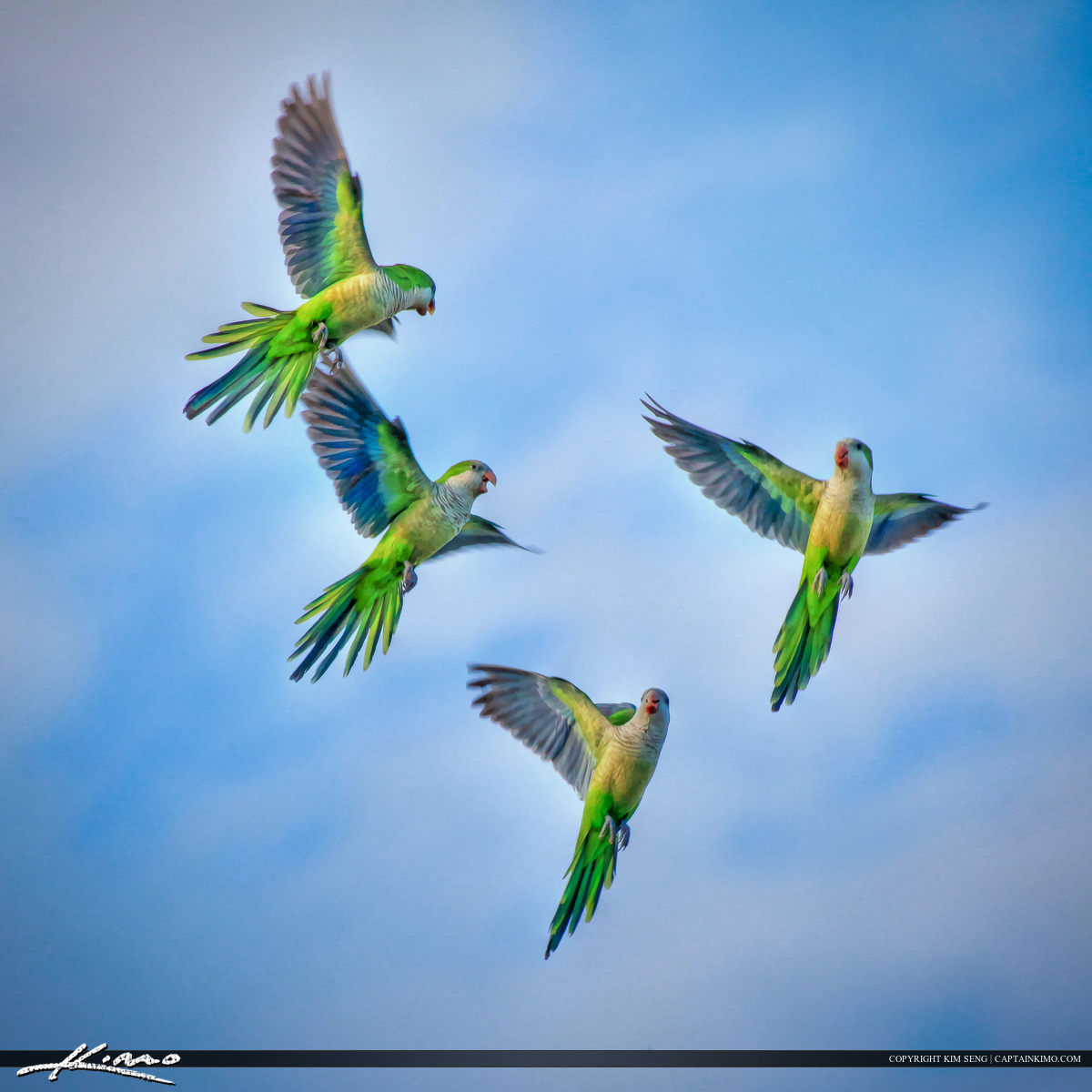 Monk Parakeet Flying Flying in Sky