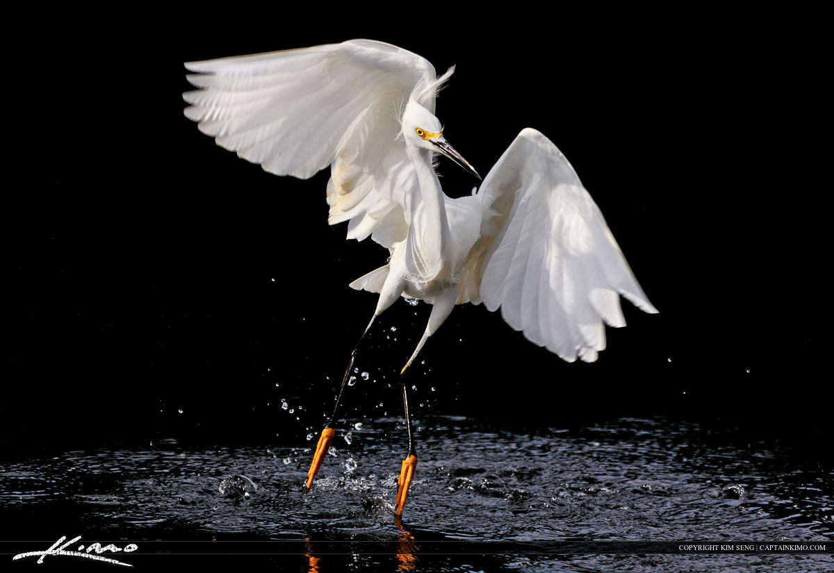 Snowy White Egret Hunting for Fish Everglades Florida