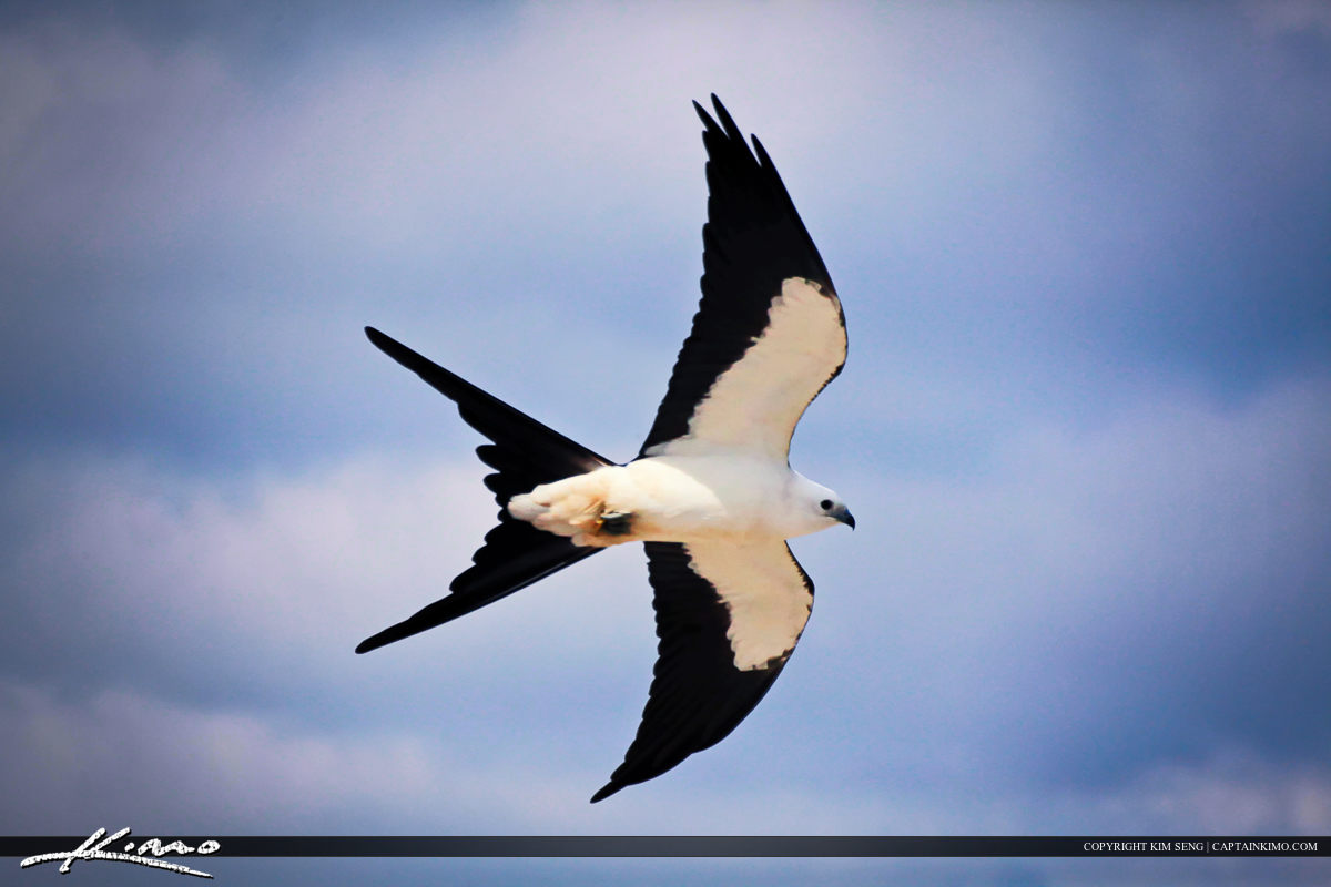 Swallow-tailed Kite Flying Over Loop Road Evergaldes Florida