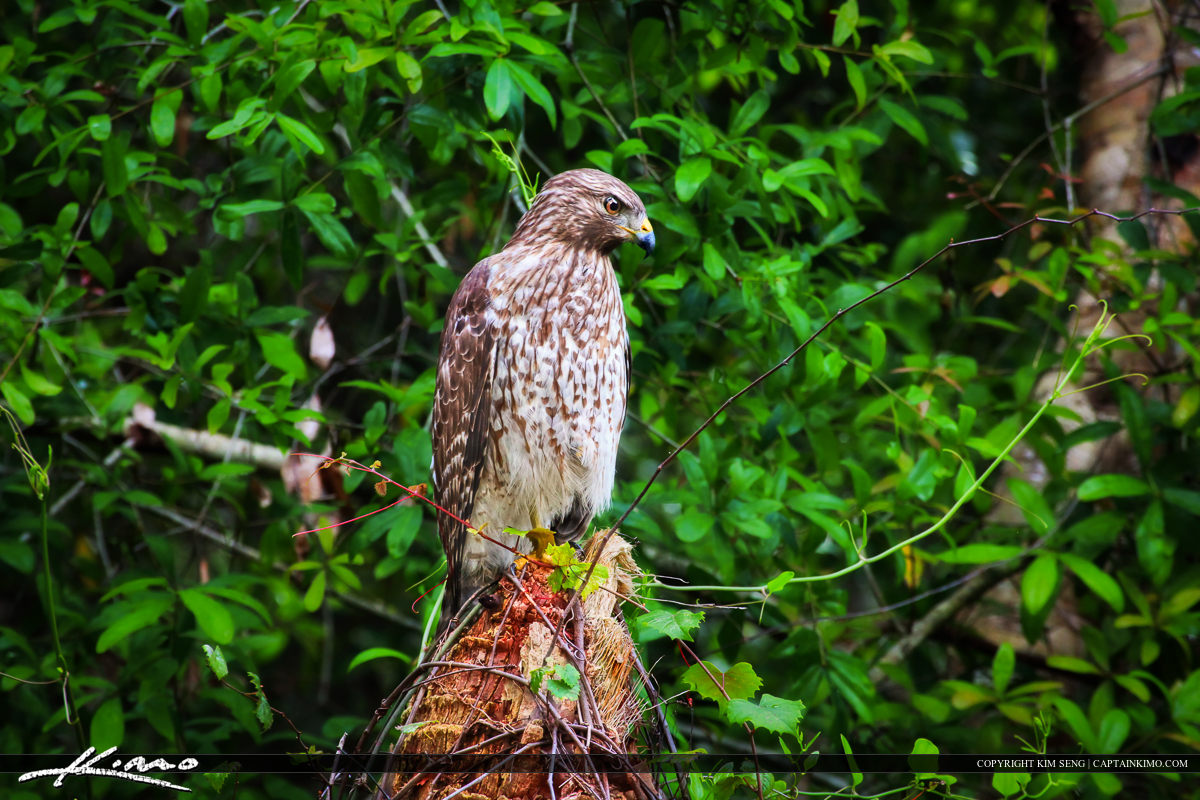 Red-tailed Hawk Perched on Old Palm Tree Stump