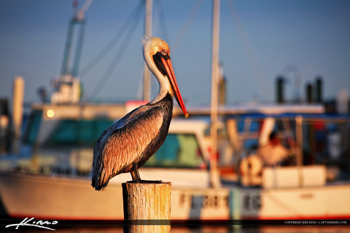 Pelican Sitting on Post at Marina in Jupiter