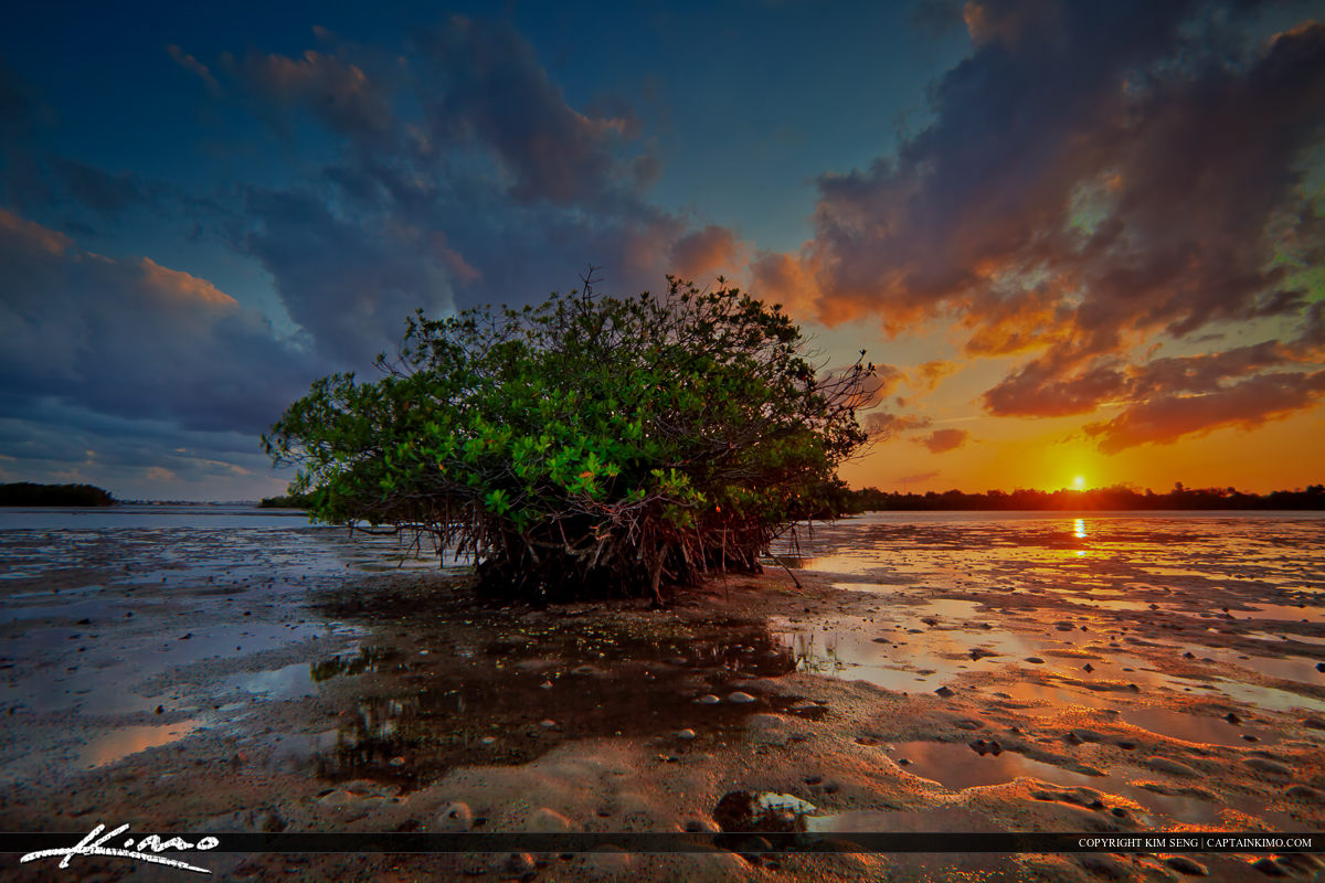 Mangrove Tree During Sunset at Lake Worth Lagoon Singer Island