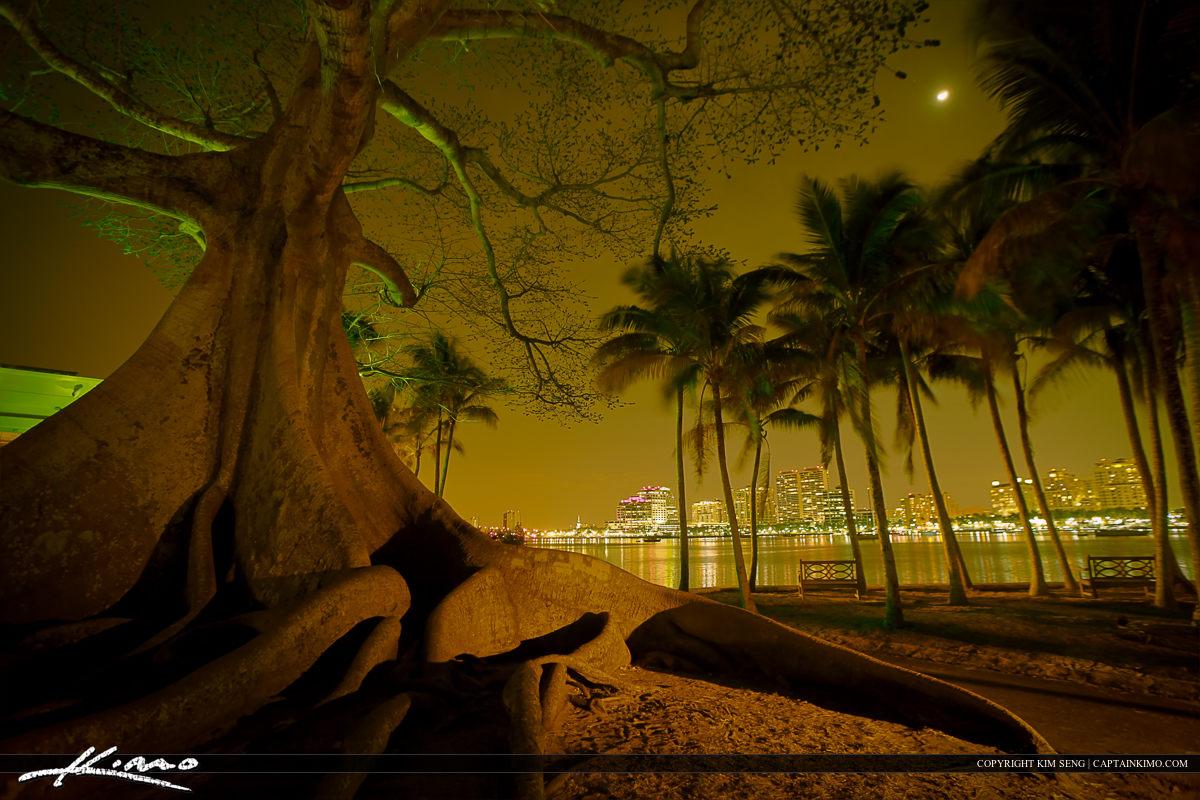 Big Kapok Tree in West Palm Beach Florida Nighttime HDR