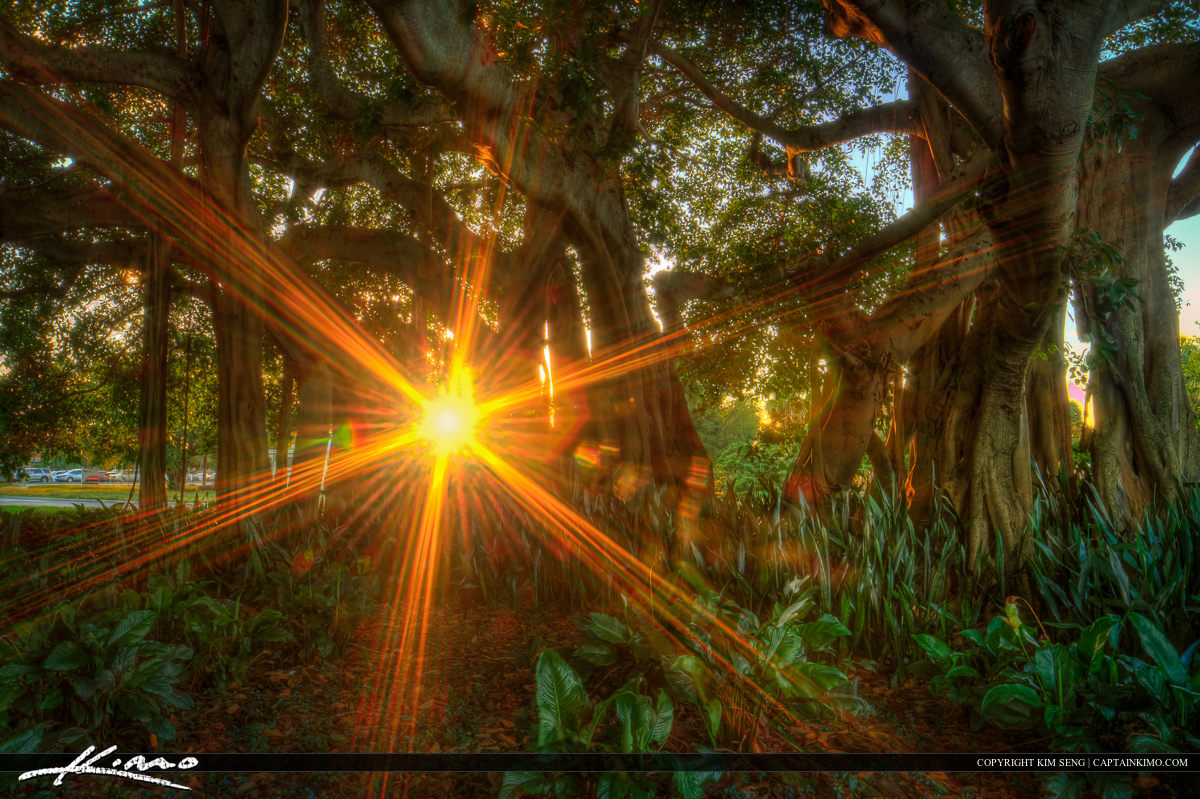 Macarthur Banyan Tree with Sun Flare Palm Beach Gardens