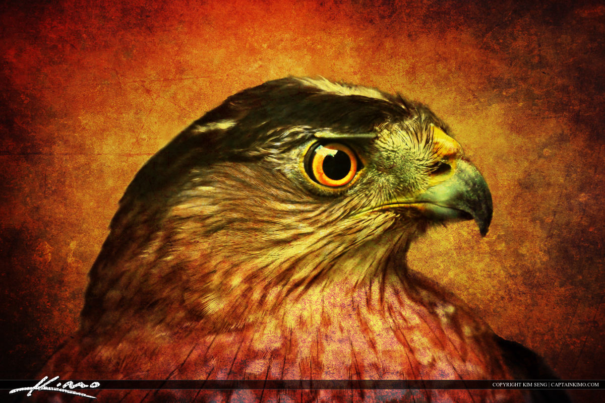 Hawk from Busch Wildlife Sanctuary with Texture for Artistic Effect