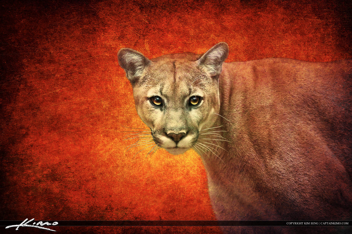 Florida Panther from Busch Wildlife Sanctuary with Photo Art Texture