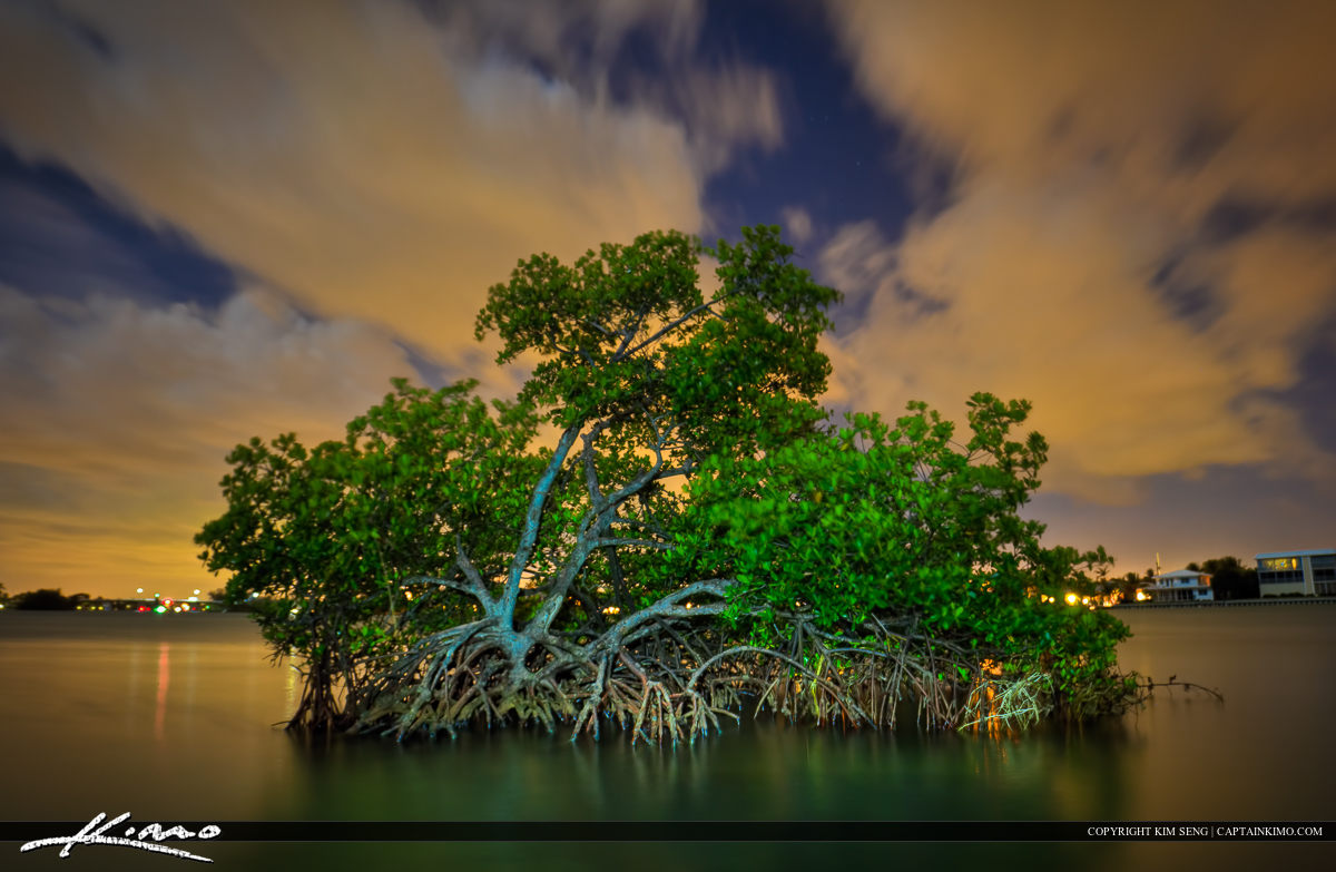 Mangrove Tree Under the Moon Light at Jupiter Florida