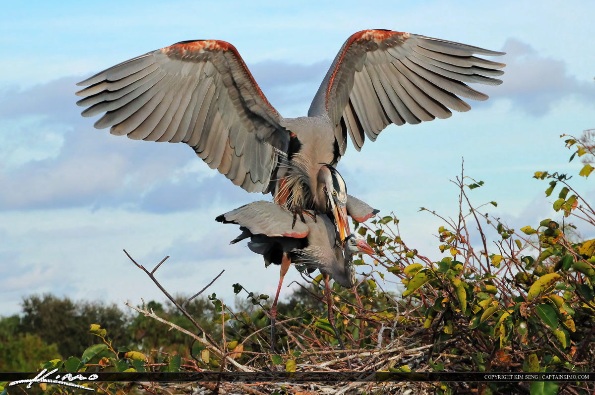 Pair of Great Blue Herons at Wetlands Doing There Thang