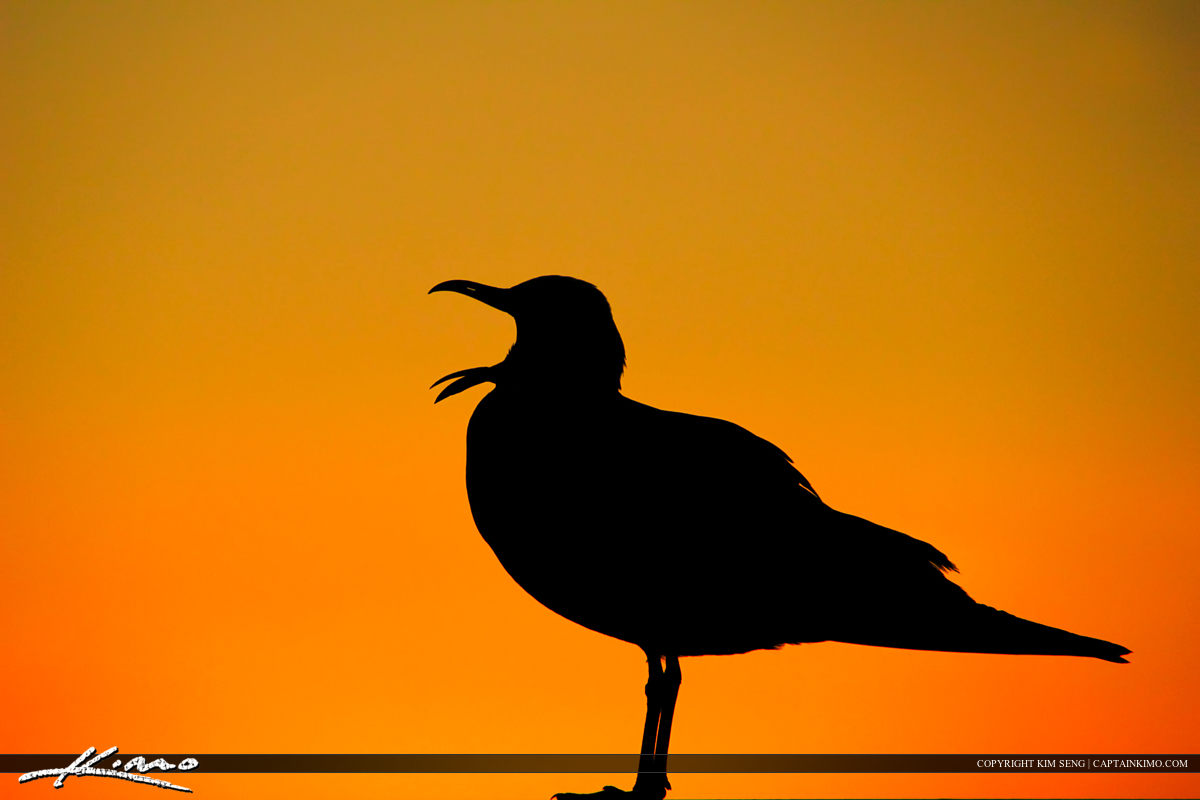 Tired Seagull Yawning During Sunset at Single Island Park