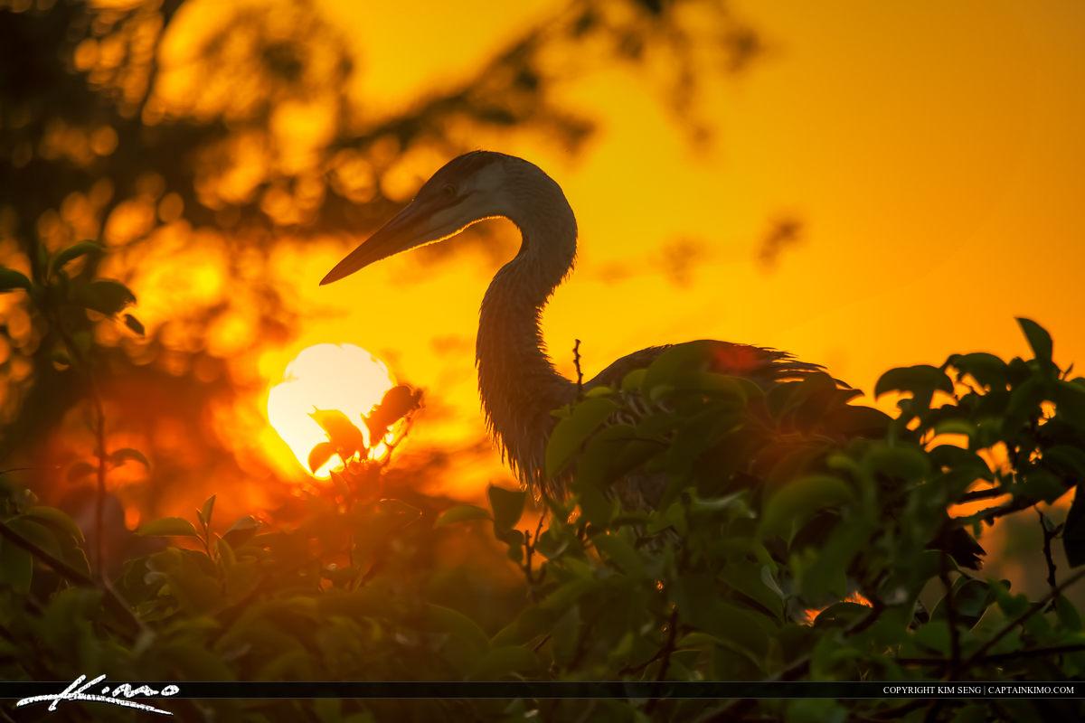 Great Blue Heron at Sunrise in Florida Wetlands