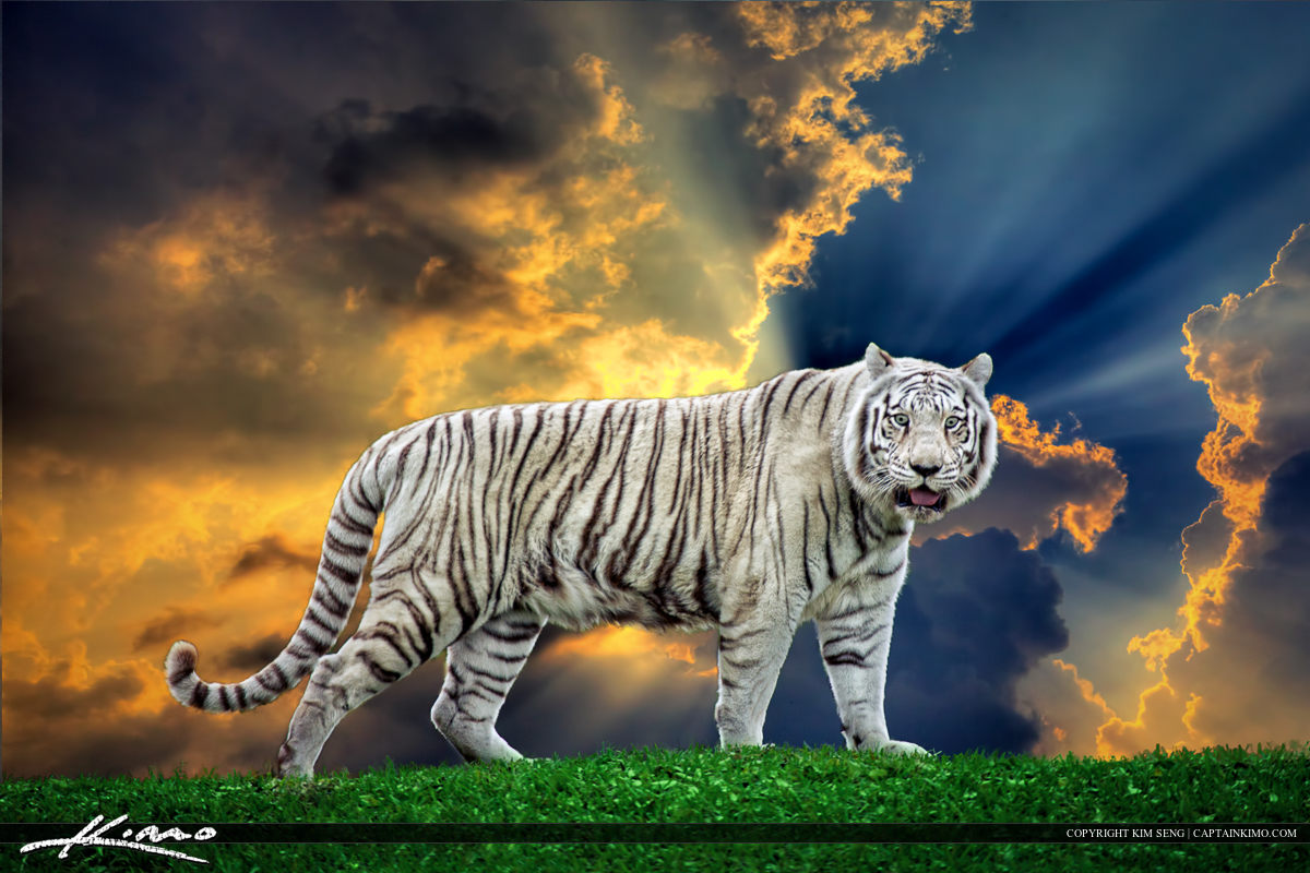 White Tiger On Grassy Hill Miami Metro Zoo