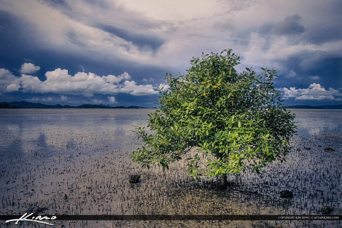 Phuket Thailand Lone Mangrove Tree Low Tide