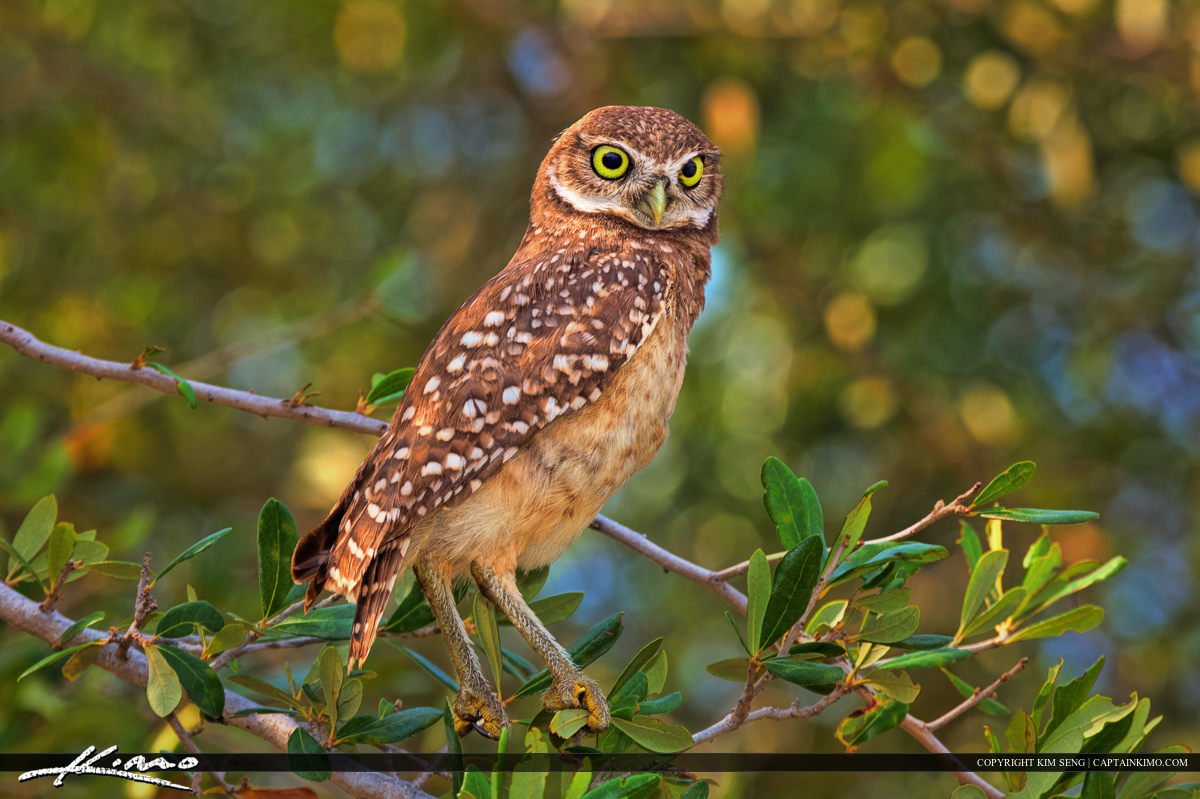 Burrowing Owl Standing on Tree Branch