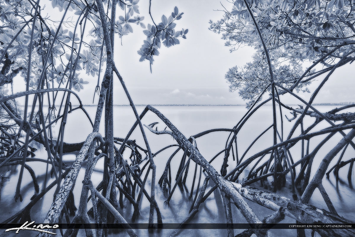 Mangrove Tree Okeechobee Waterway Stuart Florida