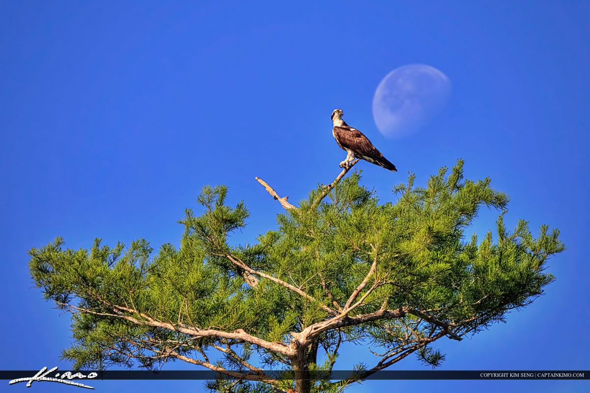 Osprey Perched Pine Tree Blue Cypress Lake Moon