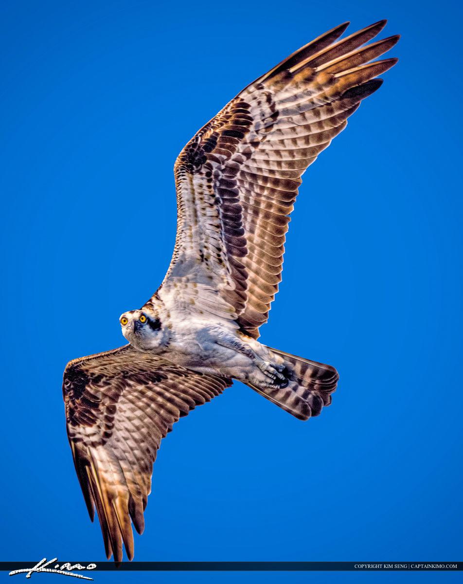 Osprey Flying Over Blue Cypress Lake