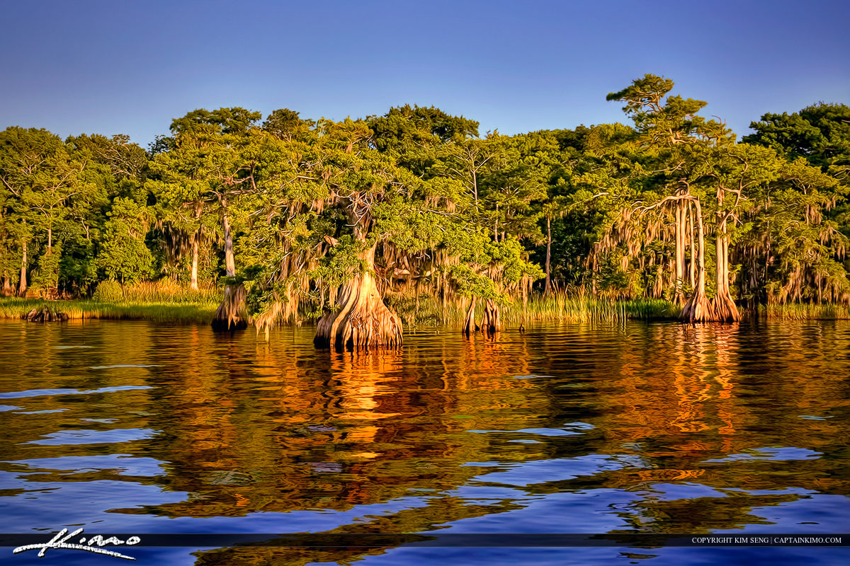 Blue Cypress Lake Florida Cypress Tree