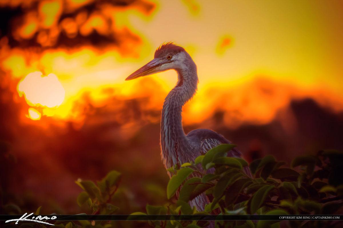 Great Blue Heron Sunrise Wakodahatchee