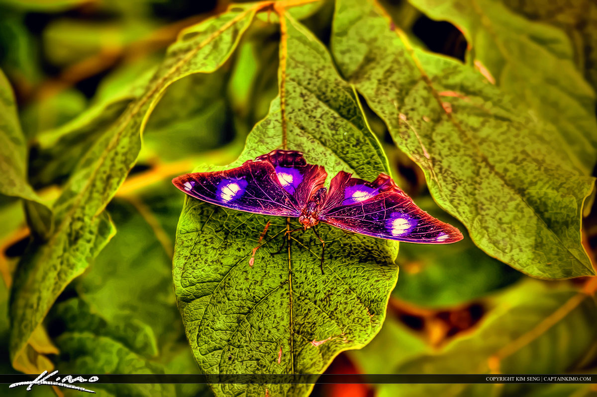 Thailand Purple Butterfly on Leaf