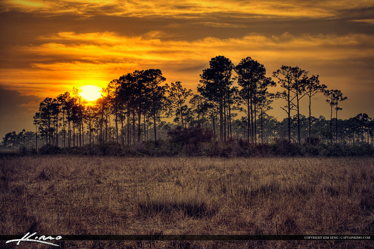 Pine Tree Forest Sunset Woods Wetlands