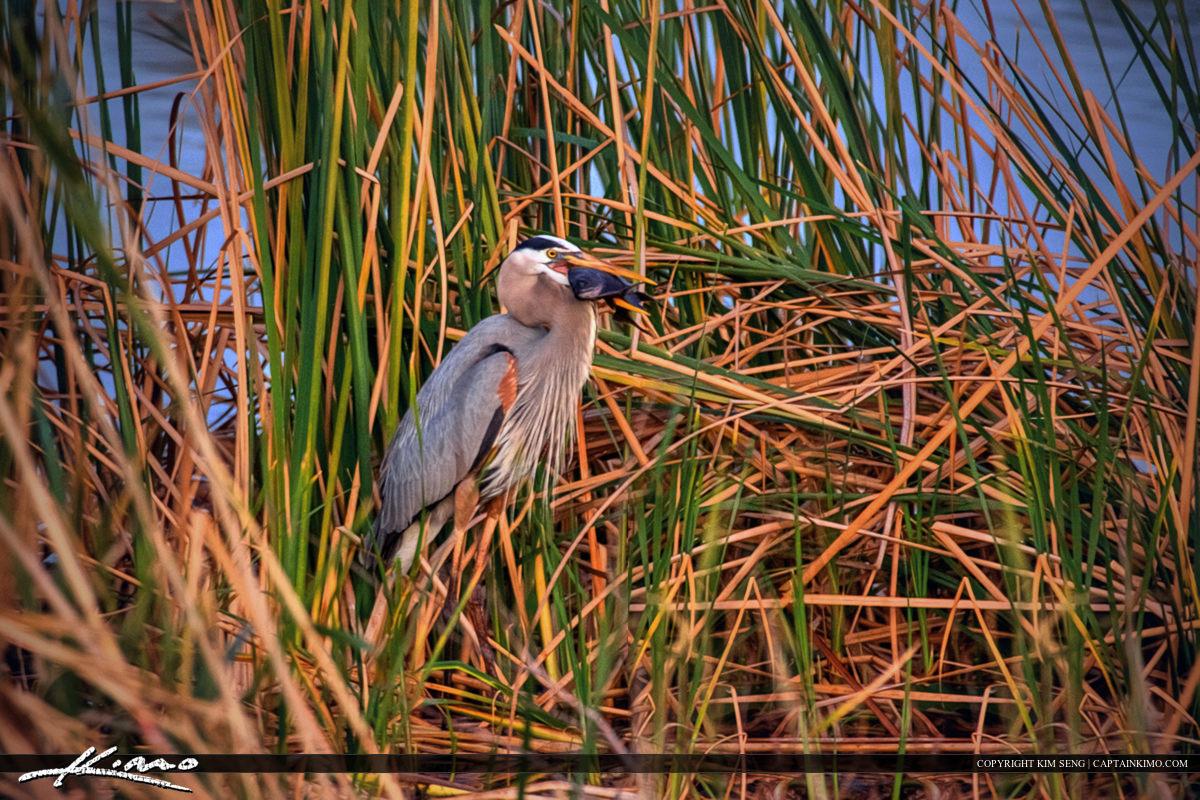 Great Blue Heron With Big Fish Okeechobee Lake