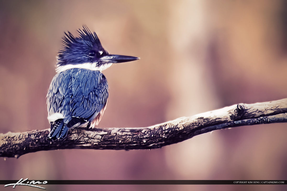 Belted Kingfisher Sitting on Branch
