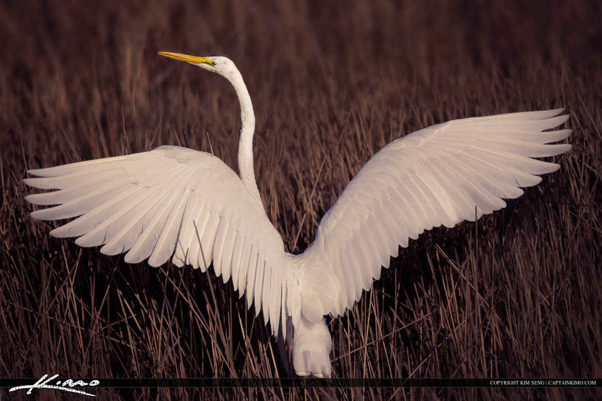 White Egret Wings Spread at Grassy Water