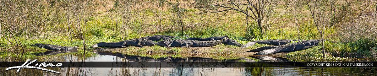 Alligators Sunbathing at Paynes Prairie Gainesville Florida Pano