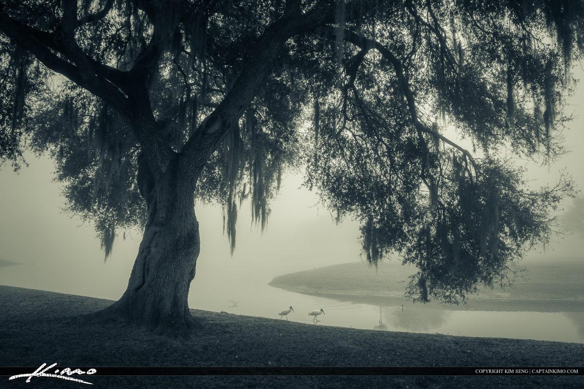 Oak Along Canal Foggy Morning Zephyrills Florida