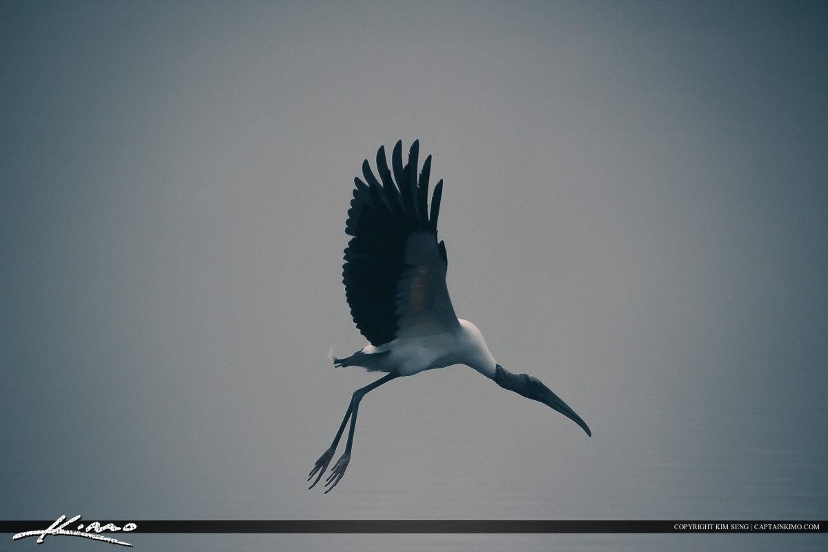 Wood Stork Foggy Morning Zephyrills Florida