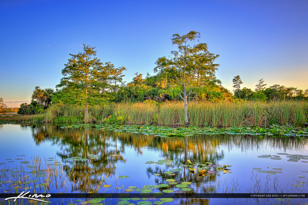 Lilypads at River with Cypress Tree Loxahatchee Slough