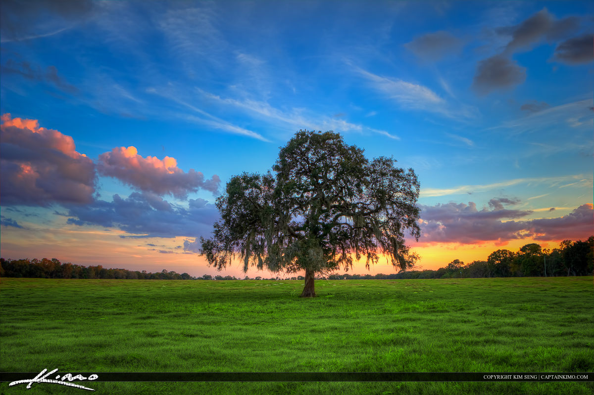 Lone Tree Young Oak with Spanich Moss Green Field Grassy Pasture