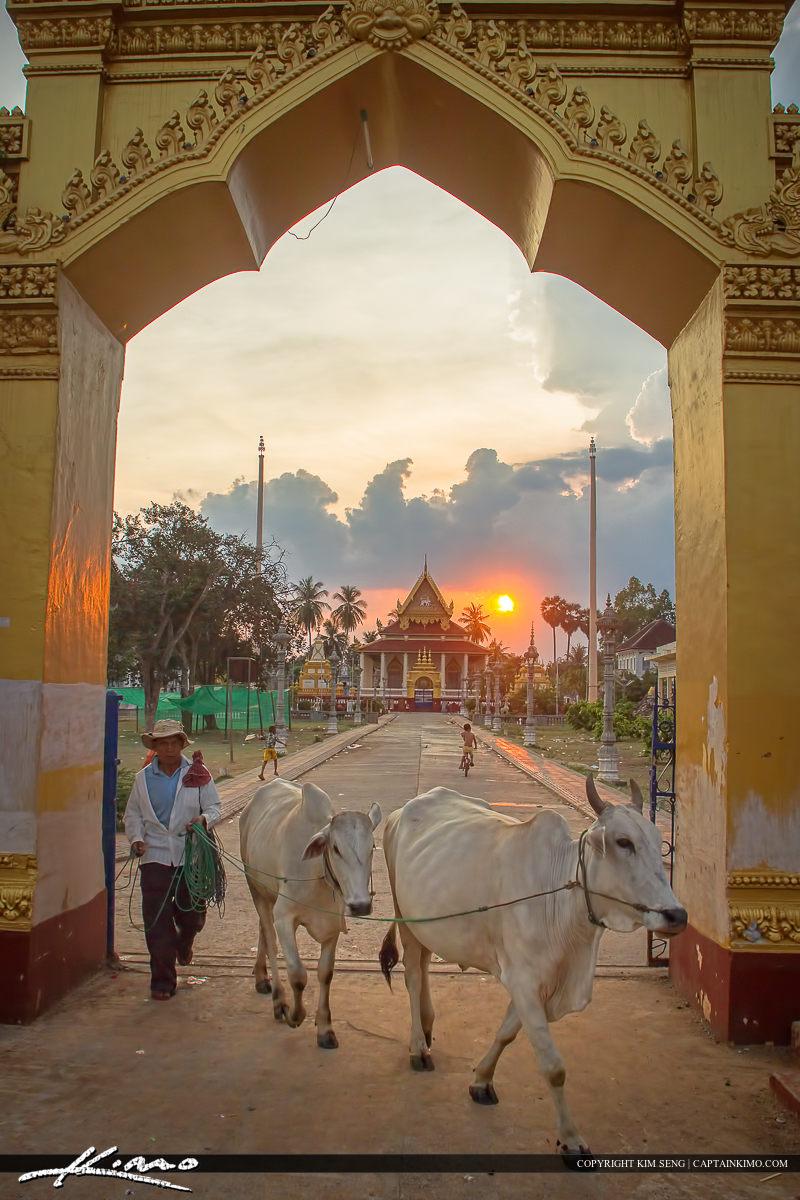 Walking Cows in Battambang Cambodia