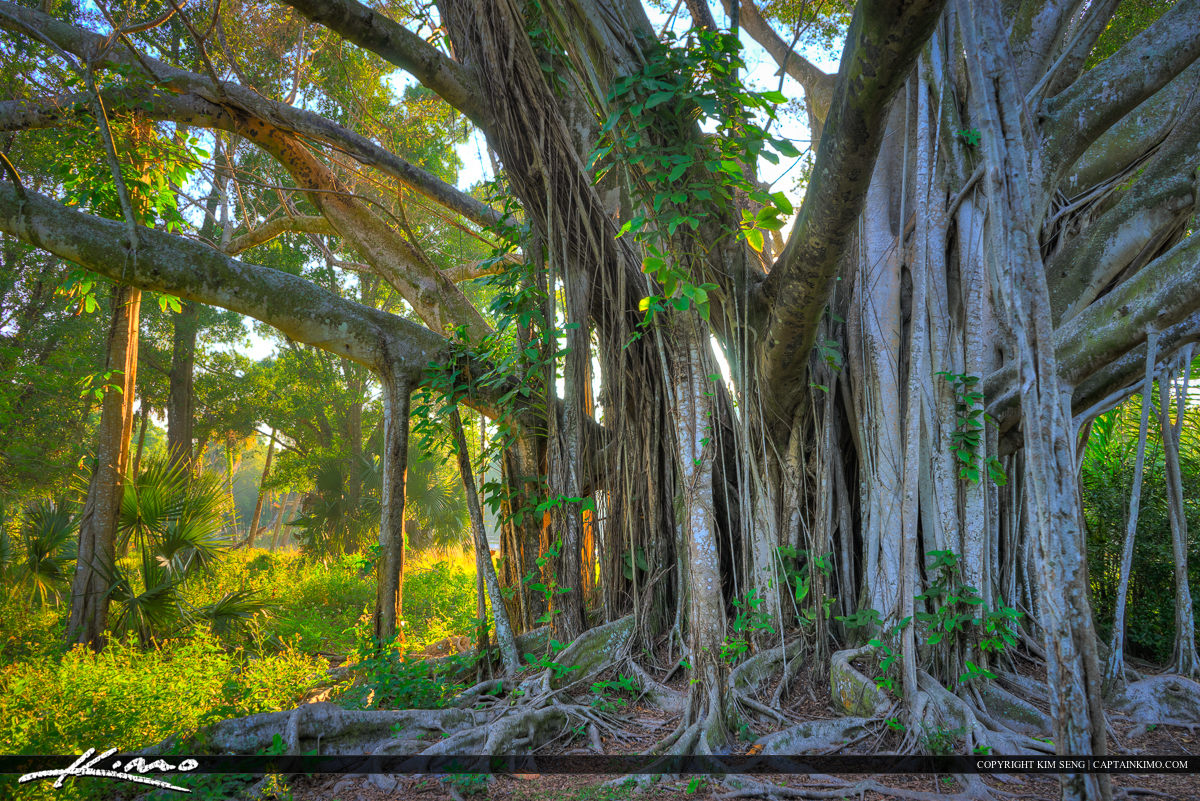 Banyan Tree Standing Tall Riverbend Park