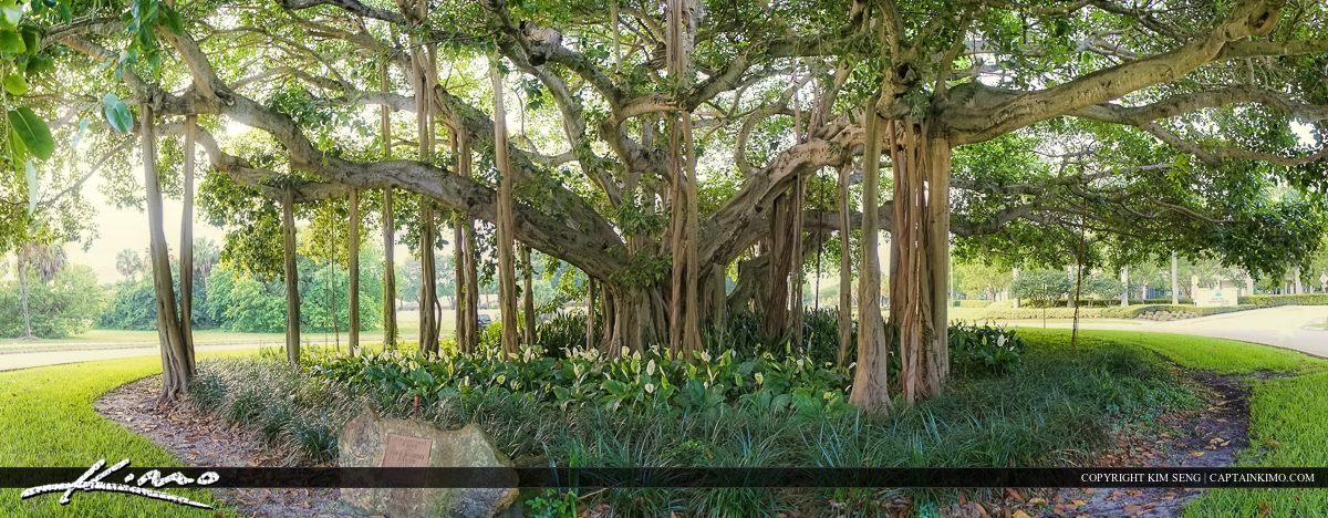MacArthur Banyan Tree Palm Beach Gardens
