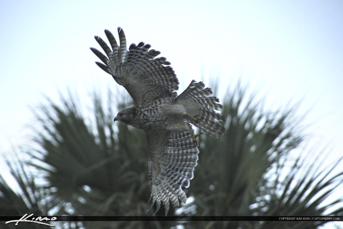 Red-Tailed Hawk in Flight at Riverbend Park