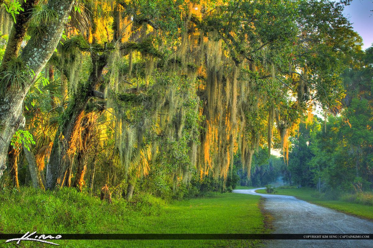 Old Dirt Road Spanish Moss on Live oak Tree