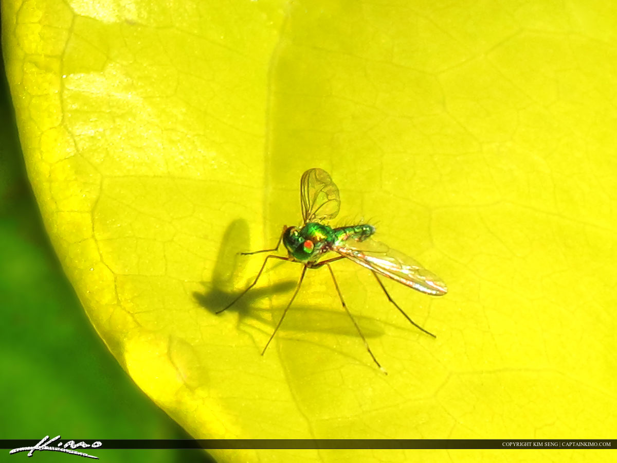 Fruit Fly from Country Side Thailand