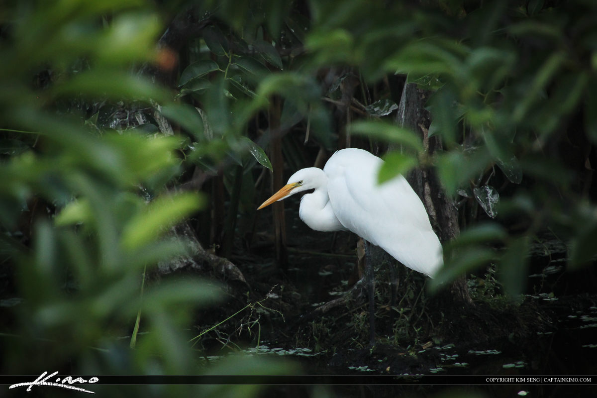 White egret under a Pond Appletree