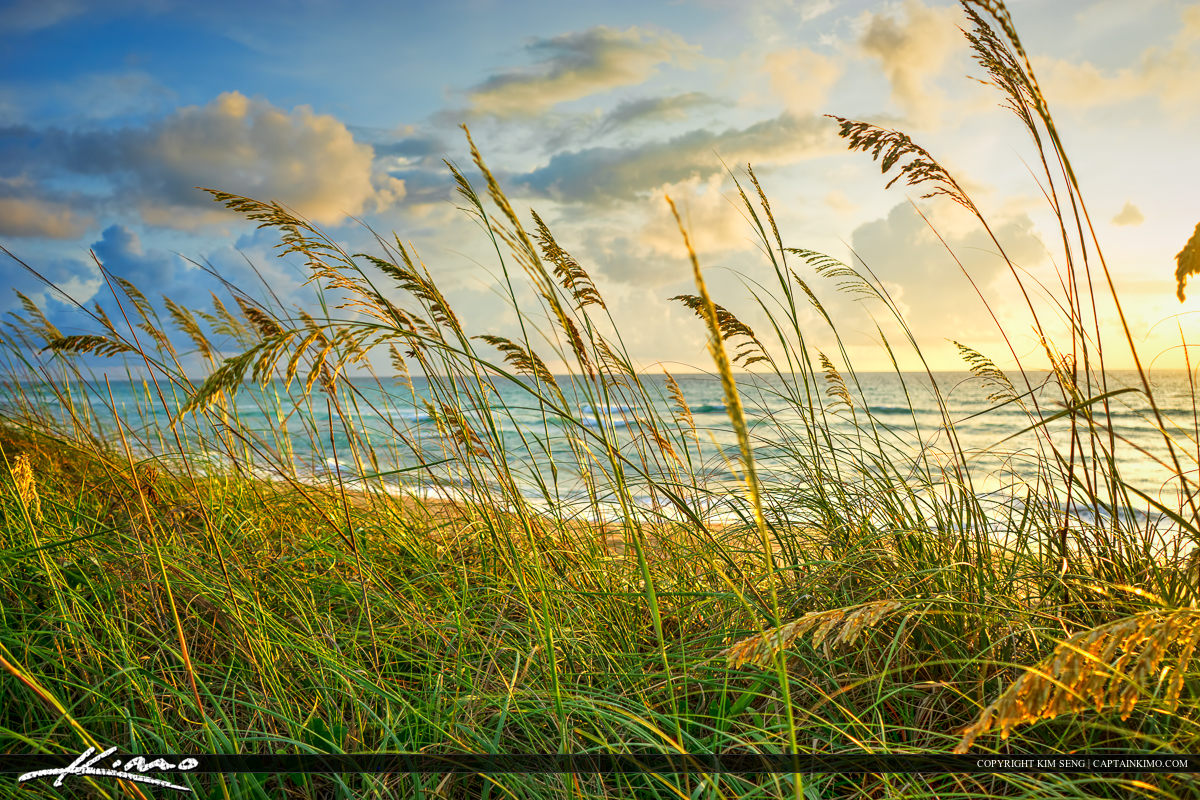 Sea Oats Along the Beach at Coral Cove Park