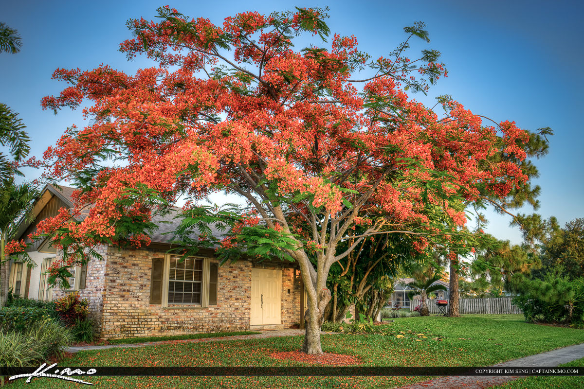 Royal Poinciana Tree Palm Beach County Home