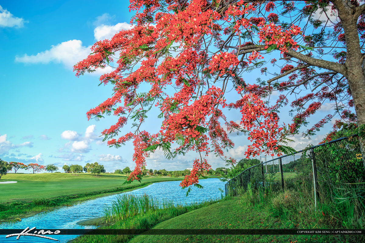 Royal Poinciana Tree Along River at Golf Course