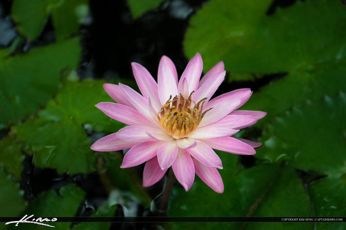 Pink Lily flower blooming in the pond