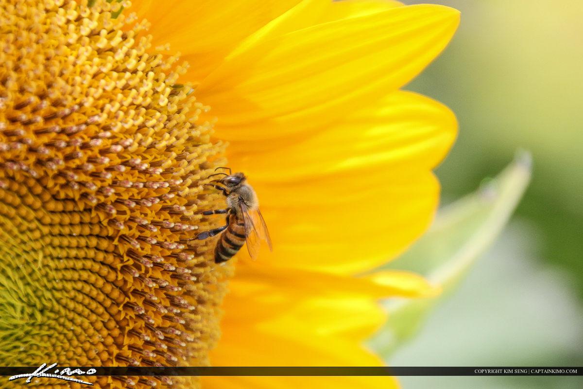 Honeybee feeding from sunflower