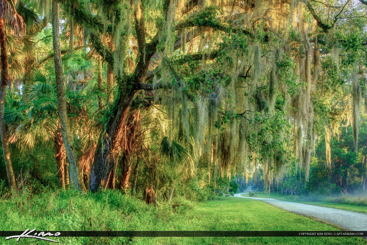 Dirt road with Live Oak tree and Spanish moss