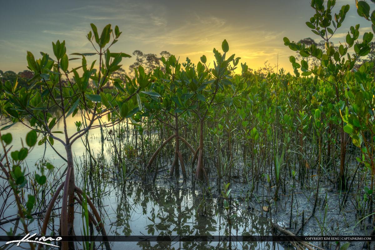 Baby Mangrove Tree Along Shore